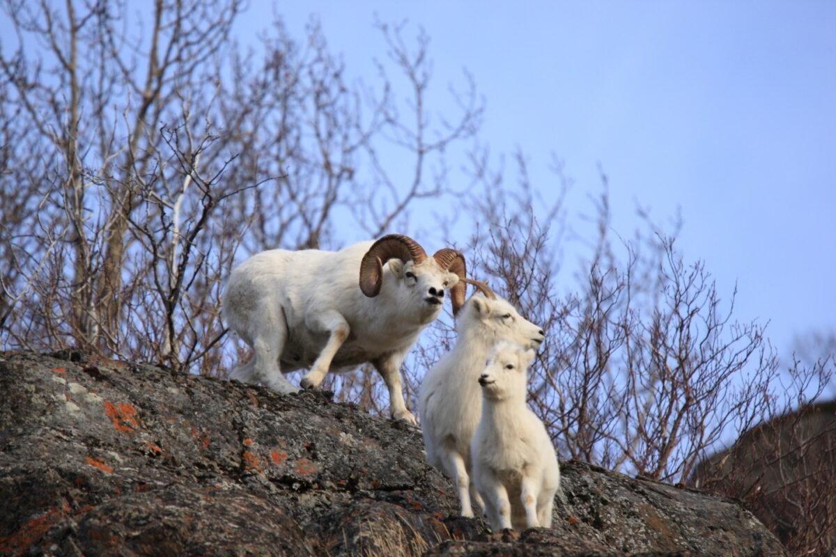 Doll sheep リンク画像