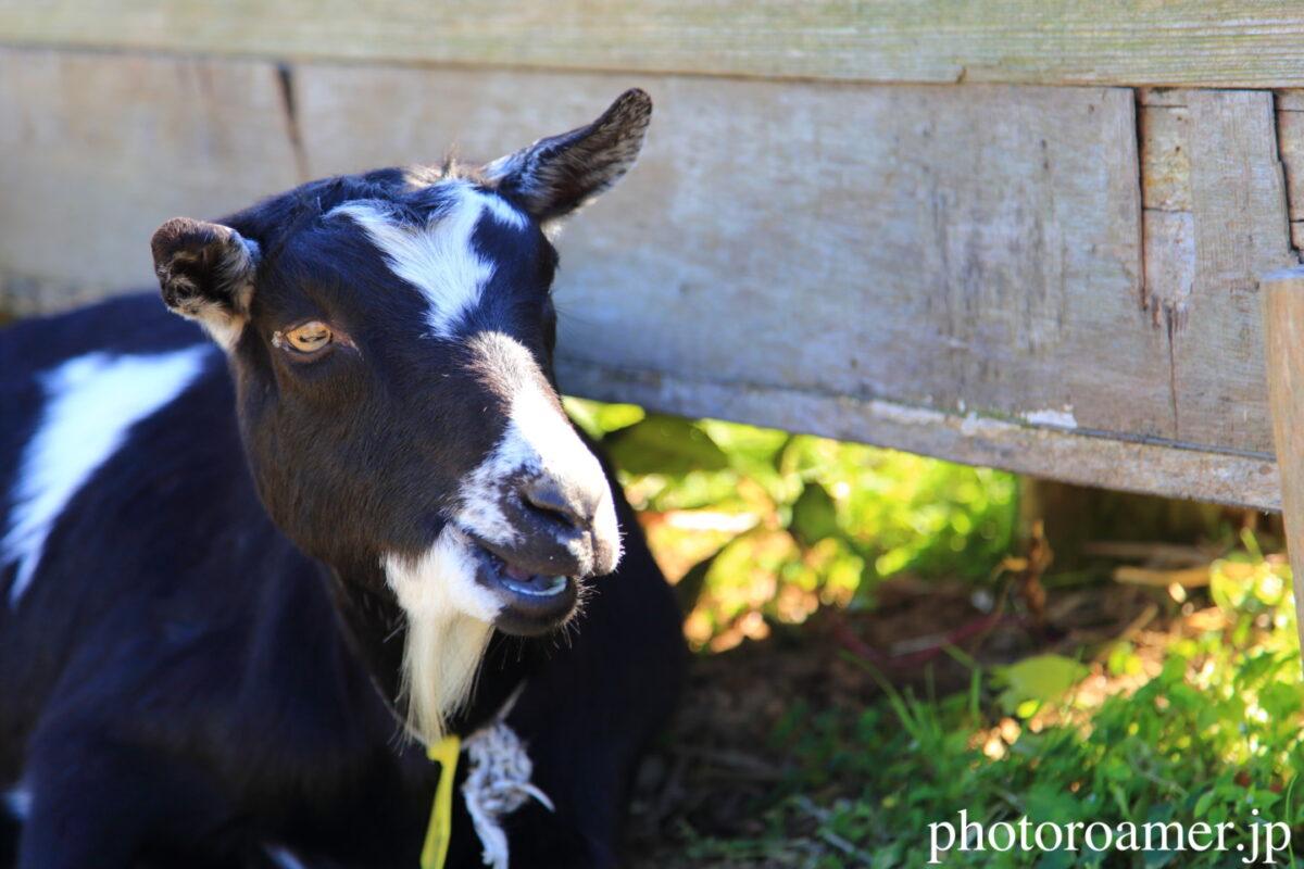 Goat リンク画像