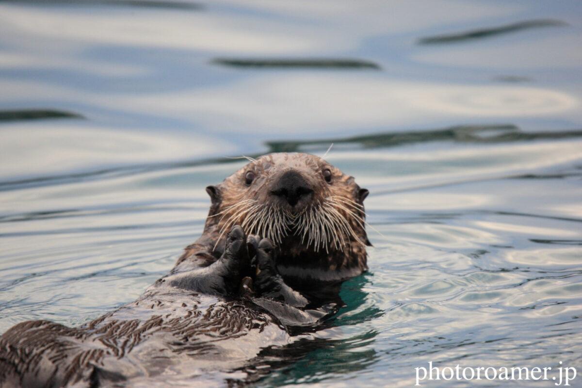 Sea otter リンク画像