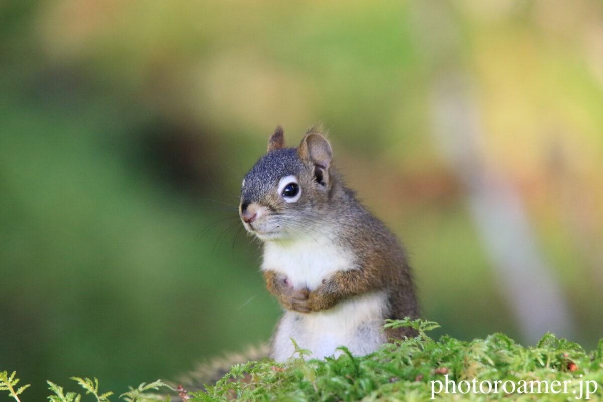 Squirrel リンク画像