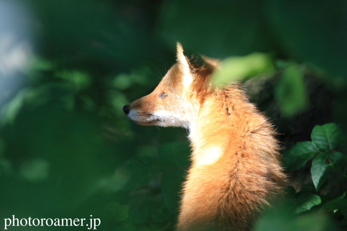 fox リンク画像