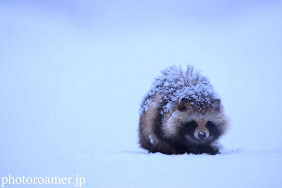 raccoon dog リンク画像