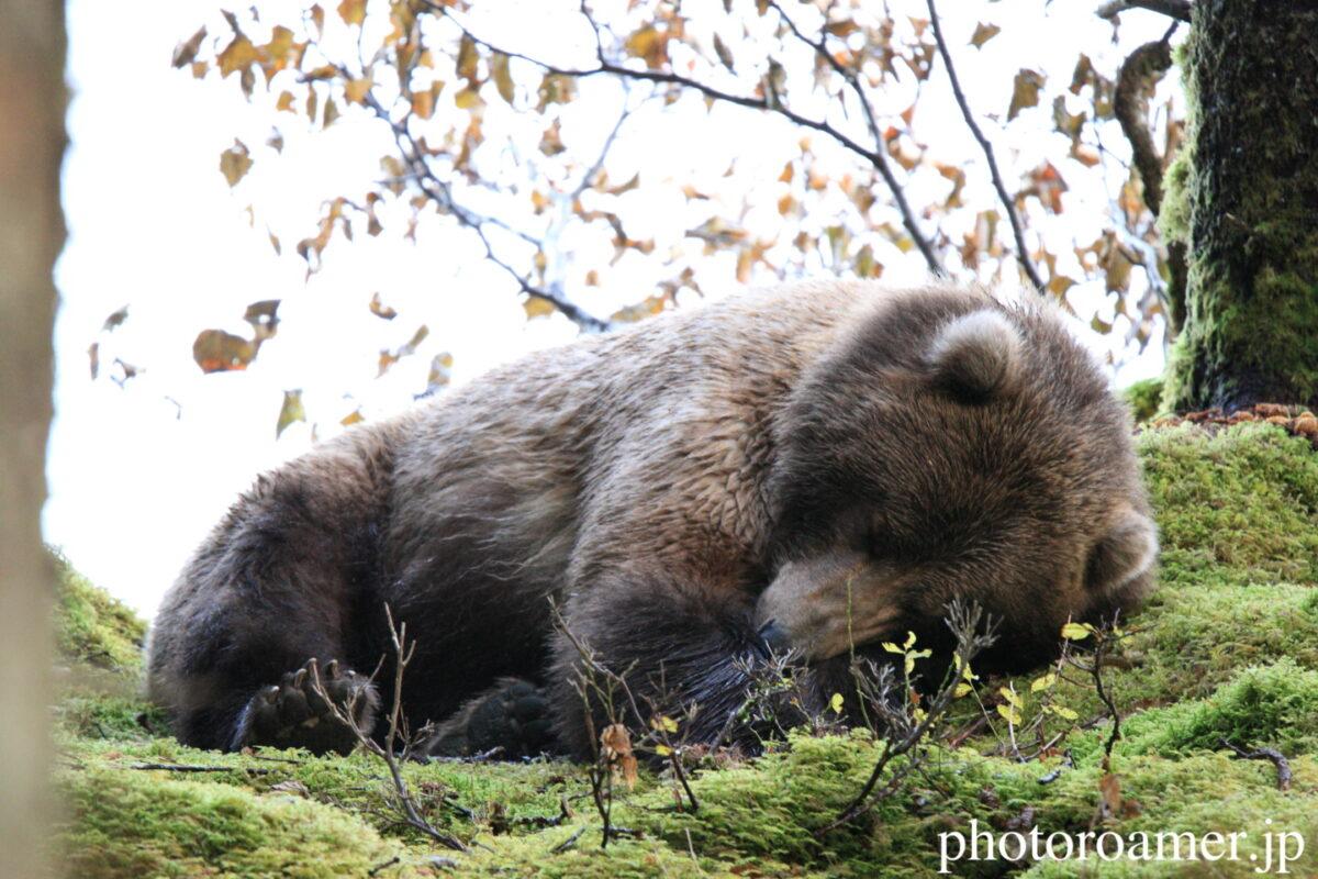 アラスカ 島 クマ