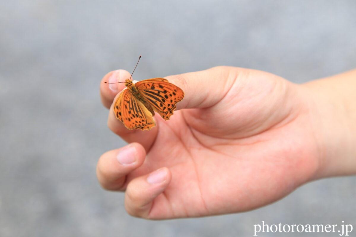 蝶 ミドリヒョウモン