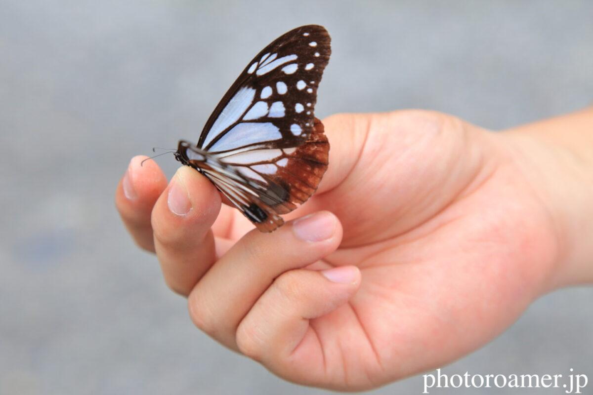 蝶 アサギマダラ