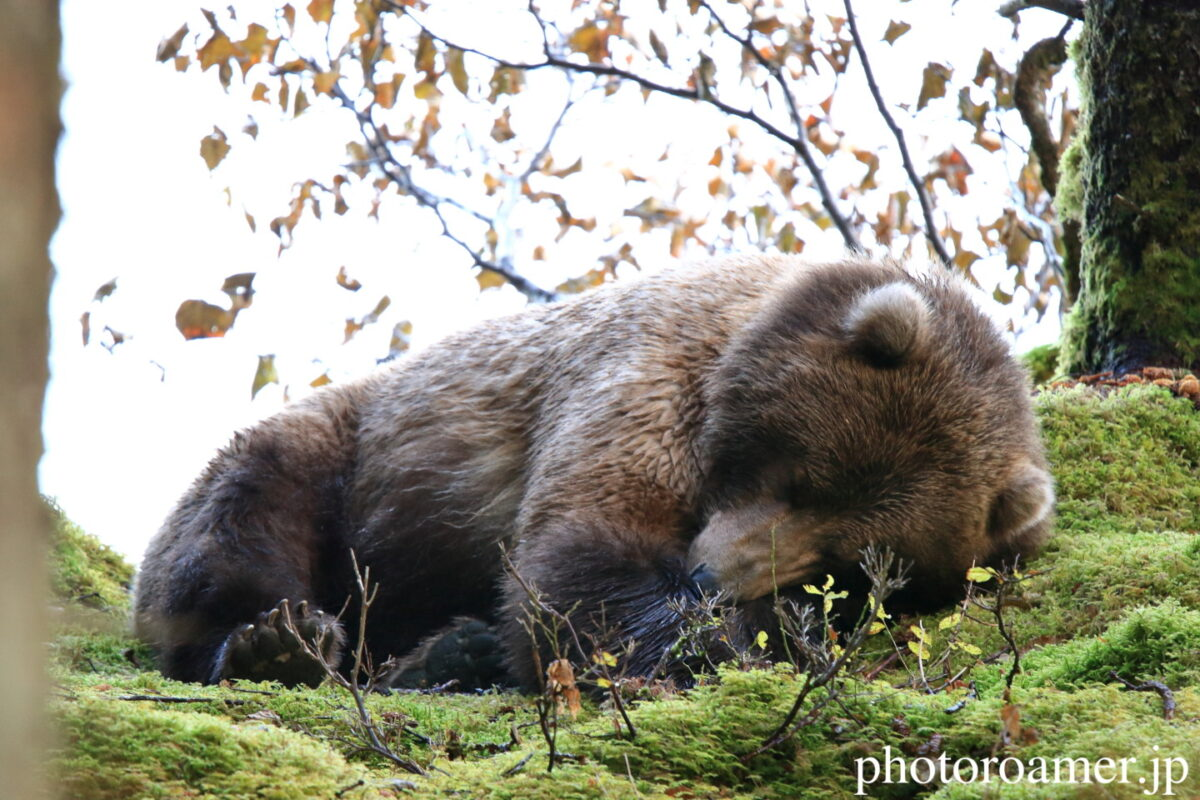 アラスカ キャンプ クマ 眠る