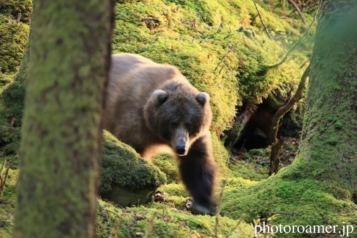 アラスカ 島 クマ 人間発見