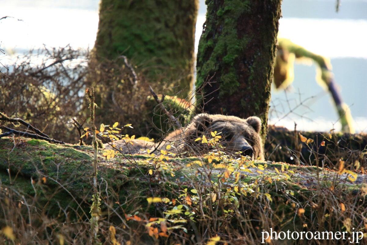 アラスカ 島 クマ 様子見