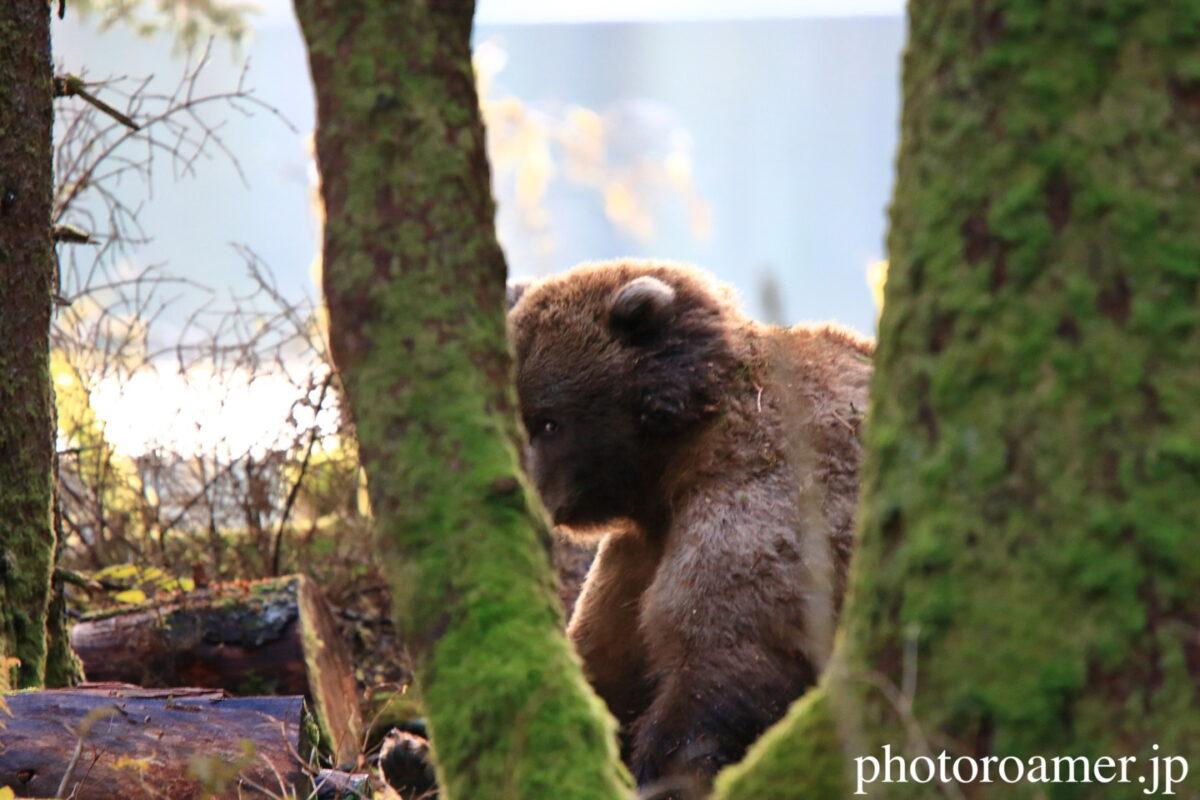 アラスカ 島 クマ 木の影 様子見