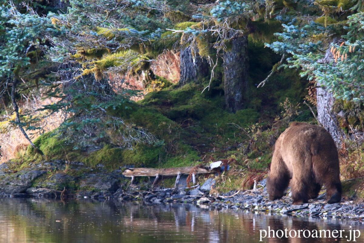 アラスカ 島 クマ 去る1