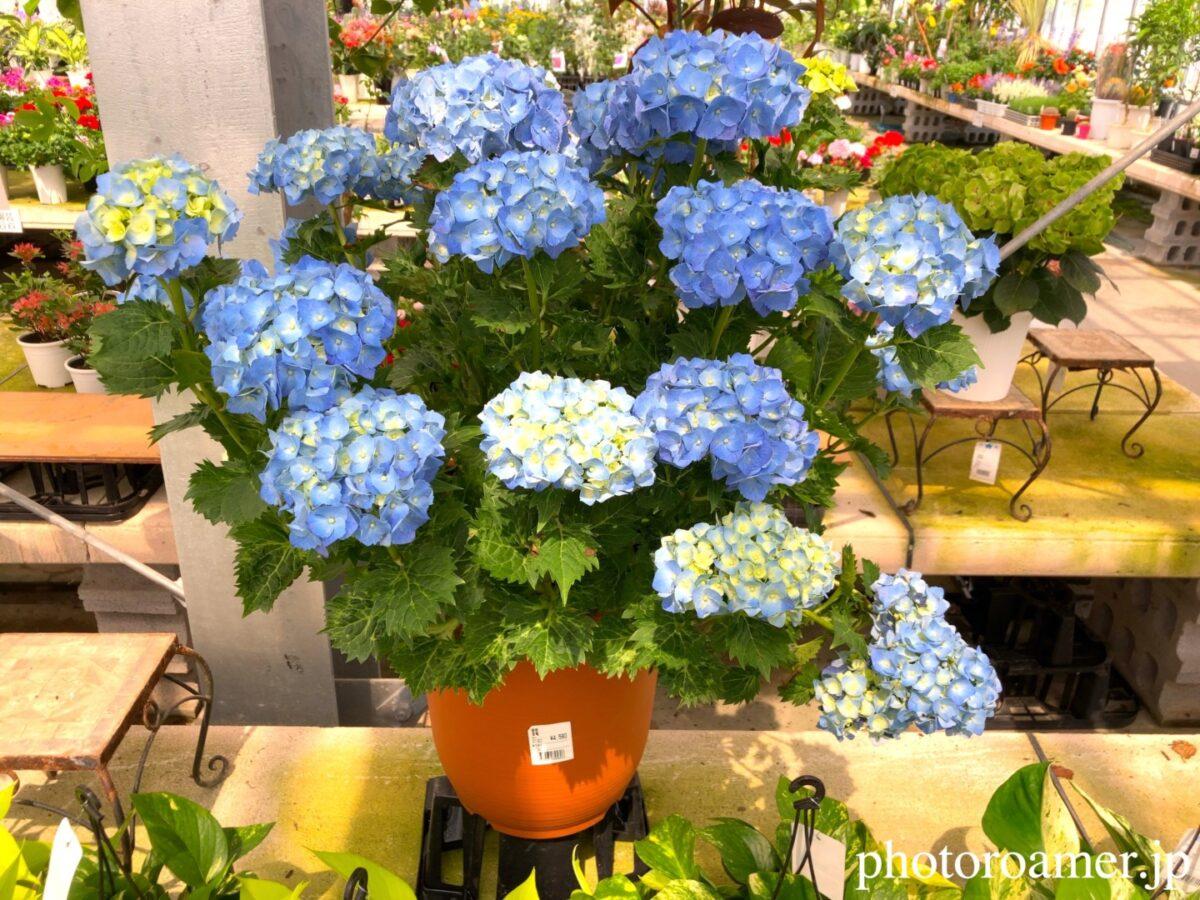 JA花園農産物直売所 ビニールハウス 紫陽花