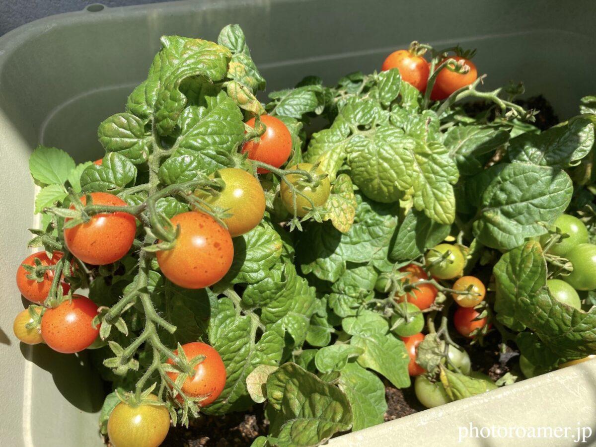 JA花園農産物直売所 野菜 飼育