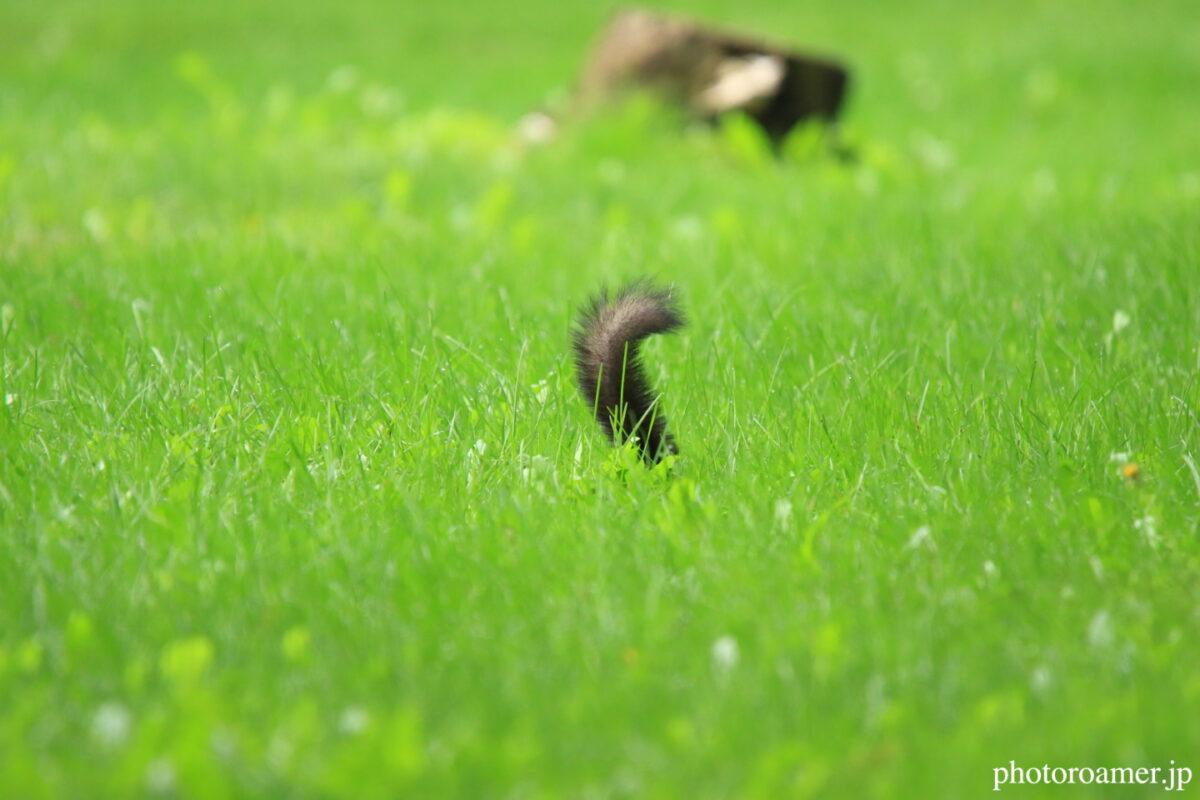 緑ヶ丘公園 隠れんぼの弱いエゾリス